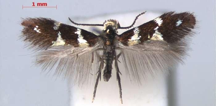 Antispila oinophylla a été différencié des autres lépidoptères du même genre grâce au barcoding de la région COI de l'ADN mitochondrial. © Nieukerken et al. 2012, Zookeys