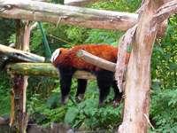 Petit panda ou panda roux (Ailurus fulgens)