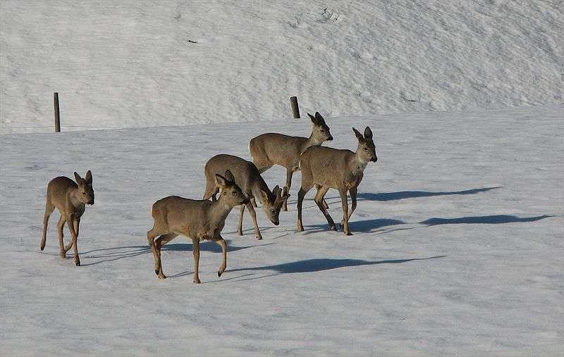Une harde de chevreuil en hiver. © Olavfin, domaine public