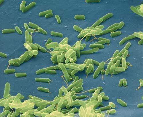 Des millions de bactéries essentielles à notre organisme vivent dans notre intestin sans engendrer de pathologie. © Cesarhara.com, Flickr, CC by nc-sa 2.0