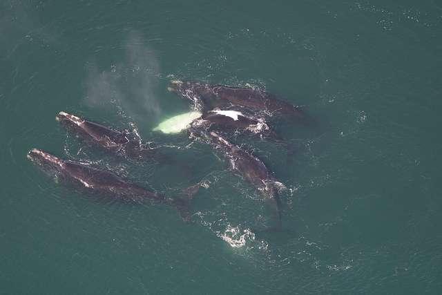 On trouve les baleines noires de l'Atlantique le long des côtes est de l'Amérique du Nord et des côtes européennes. © MyFWC_Research, Flickr, cc by nc nd 2.0