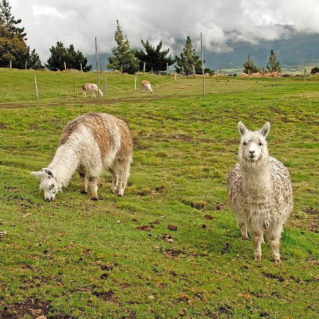 Lamas dans le parc national du Cotopaxi, en Équateur. © Whirling Phoenix, Flickr, cc by nc nd 2.0