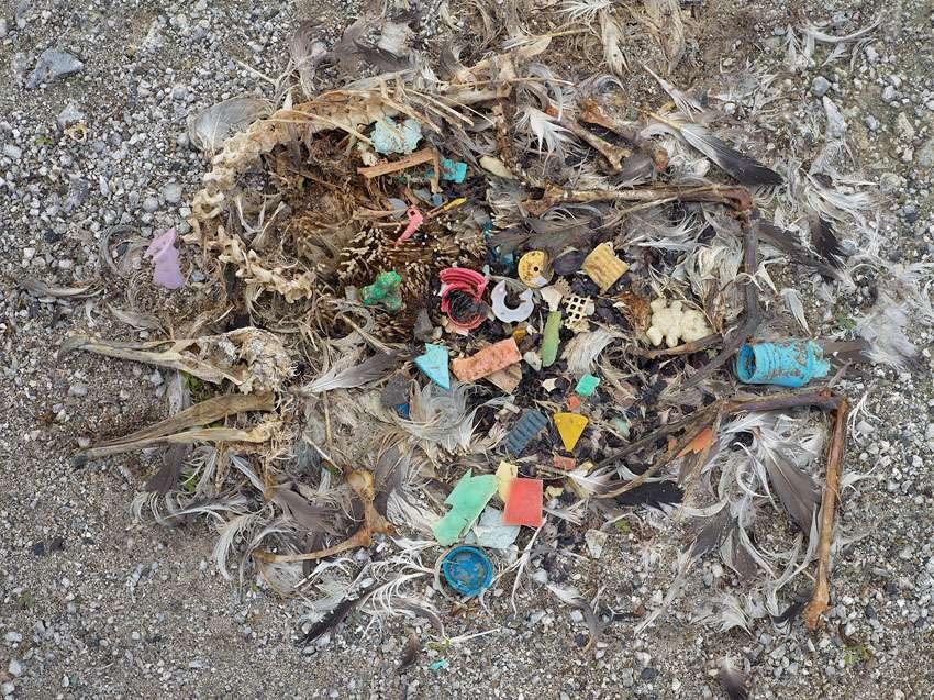 La mort horrible des bébés albatros des îles Midway. © Chris Jordan