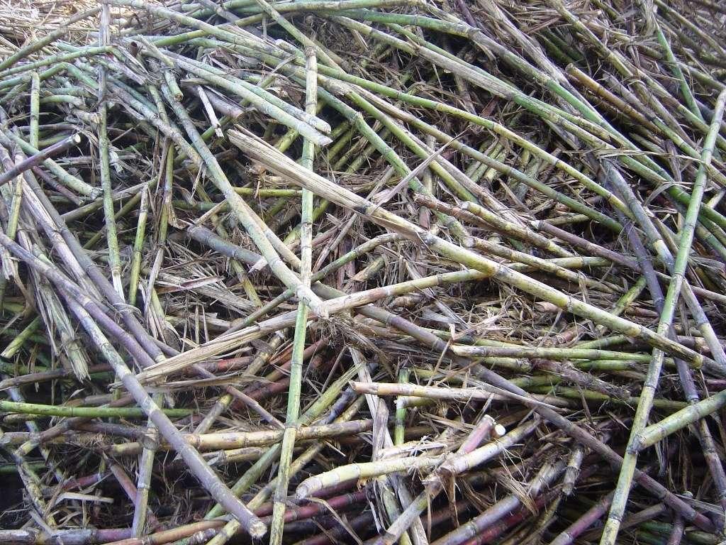 Cannes à sucre coupées prêtes à être transportées à la raffinerie. On peut les presser en vue de fabriquer du biocarburant pour l'aviation. © Wikipédia, cc by s.a 3.0