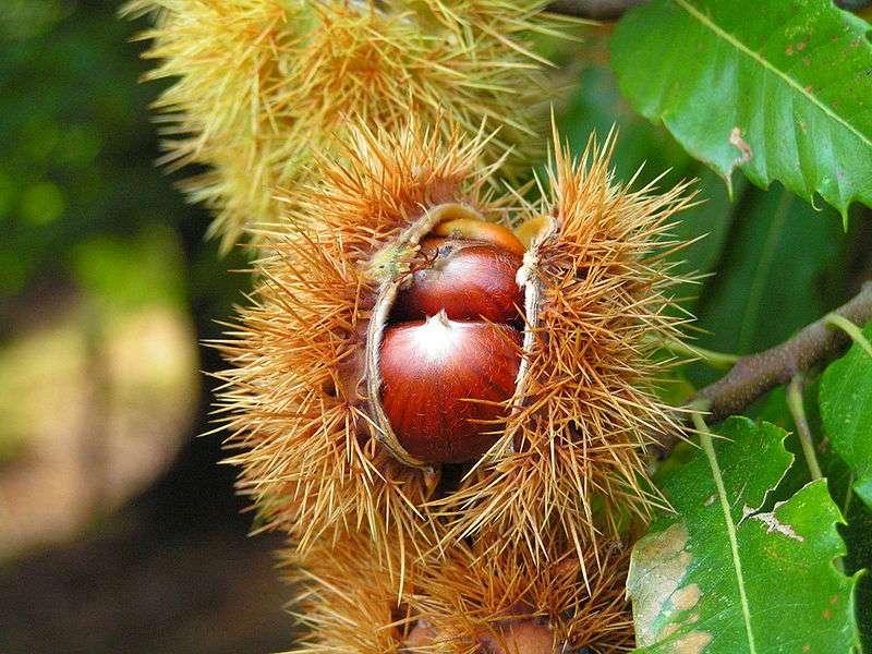 Plusieurs châtaignes sont contenues dans la même bogue, sinon c'est un marron. © BenHur / Licence Creative Commons