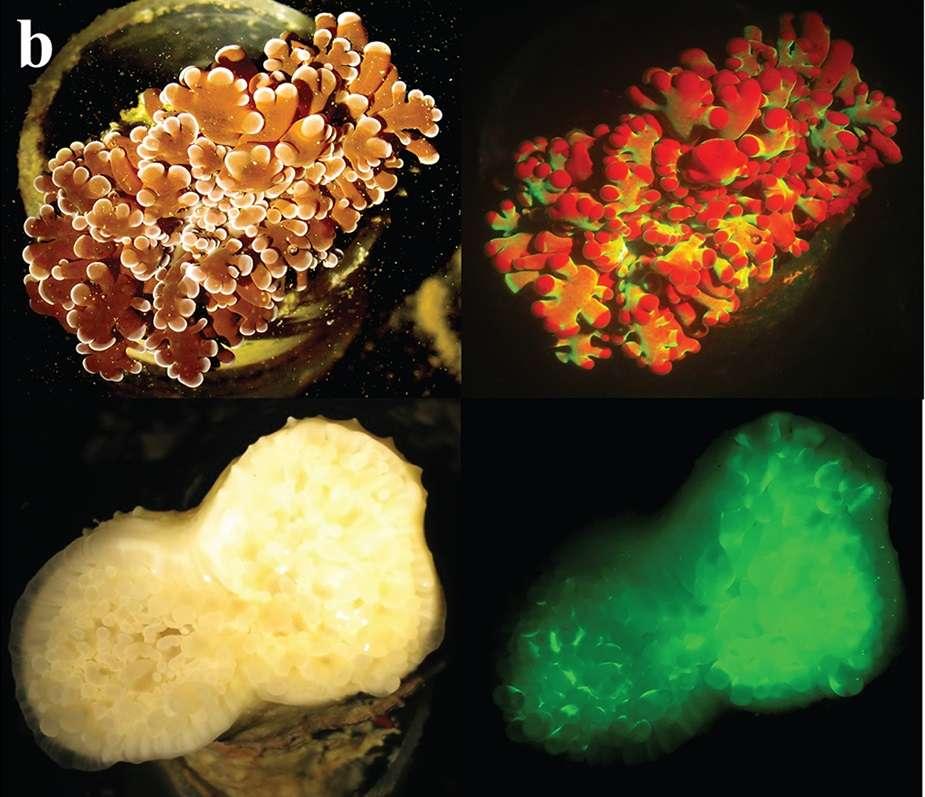 La fluorescence du corail Euphyllia paradivisa. À gauche, l'aspect des animaux sont simplement observés à la lumière ; à droite, les mêmes individus exhibent une fluorescence induite par un éclairage bleu. © Gal Eyalet al., PLos One