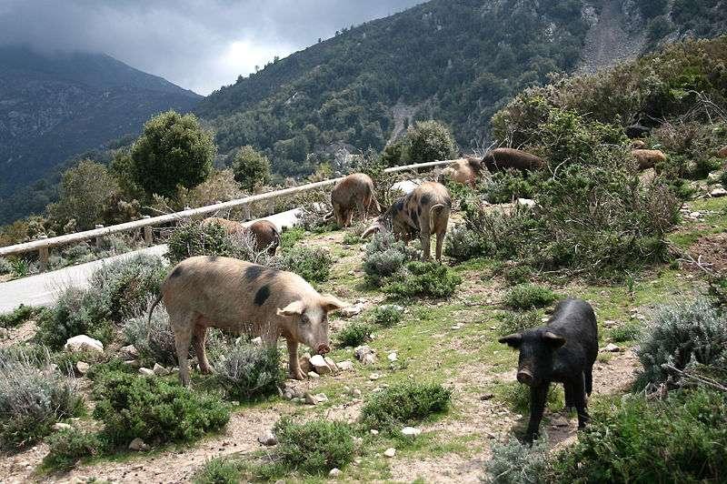 Les troupeaux de porcs corses, ici dans les montagnes, donnent une saveur particulière aux charcuteries corses. © Jean-Pol Grandmont, Wikimedia Commons, cc by sa 3.0