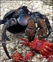 © Current BiologyLe crabe-coco en plein repas !