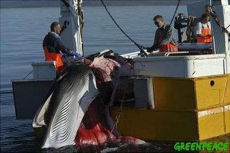 La chasse à la baleine