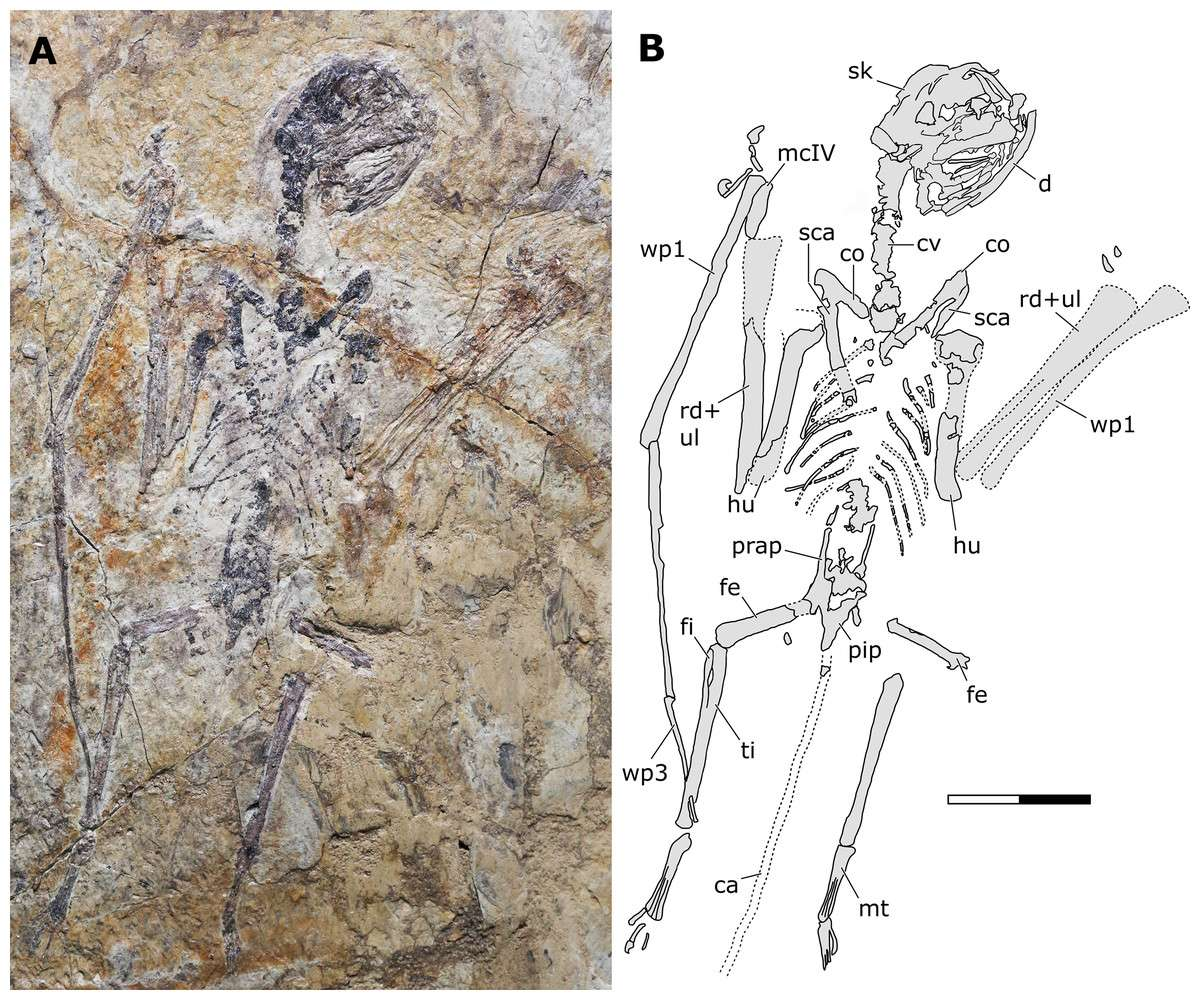 À droite, une photographie du fossile de Sinomacrops bondei. À gauche, un dessin schématique du même spécimen. La barre d'échelle représente 20 millimètres. © Xuefang Wei et al., Paleontology and Evolutionary Science