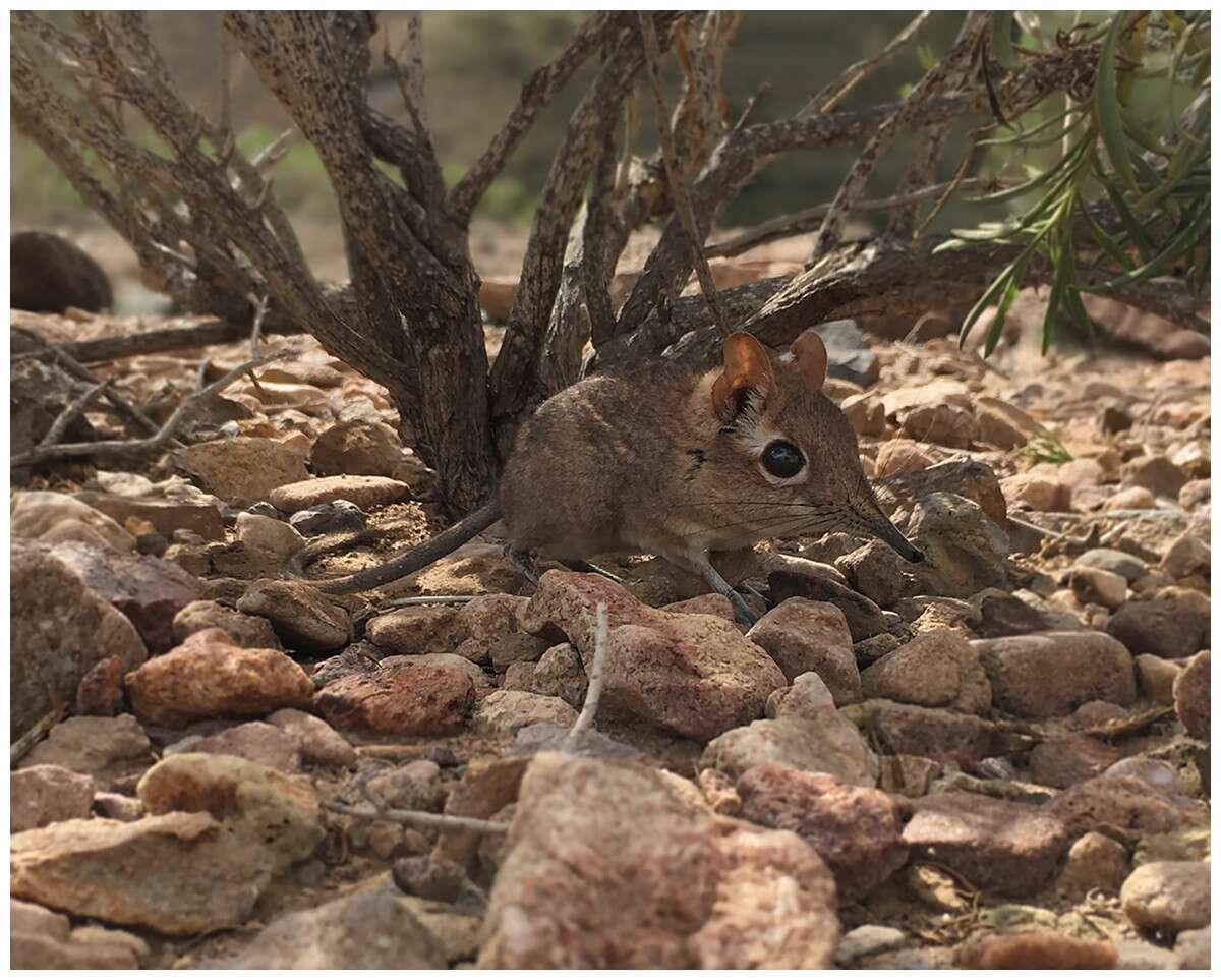 Une musaraigne à trompe photographiée près de Djibouti. © Steven Heritage et al. PeerJ