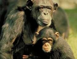 Le chimpanzé Pan troglodytes troglodytes