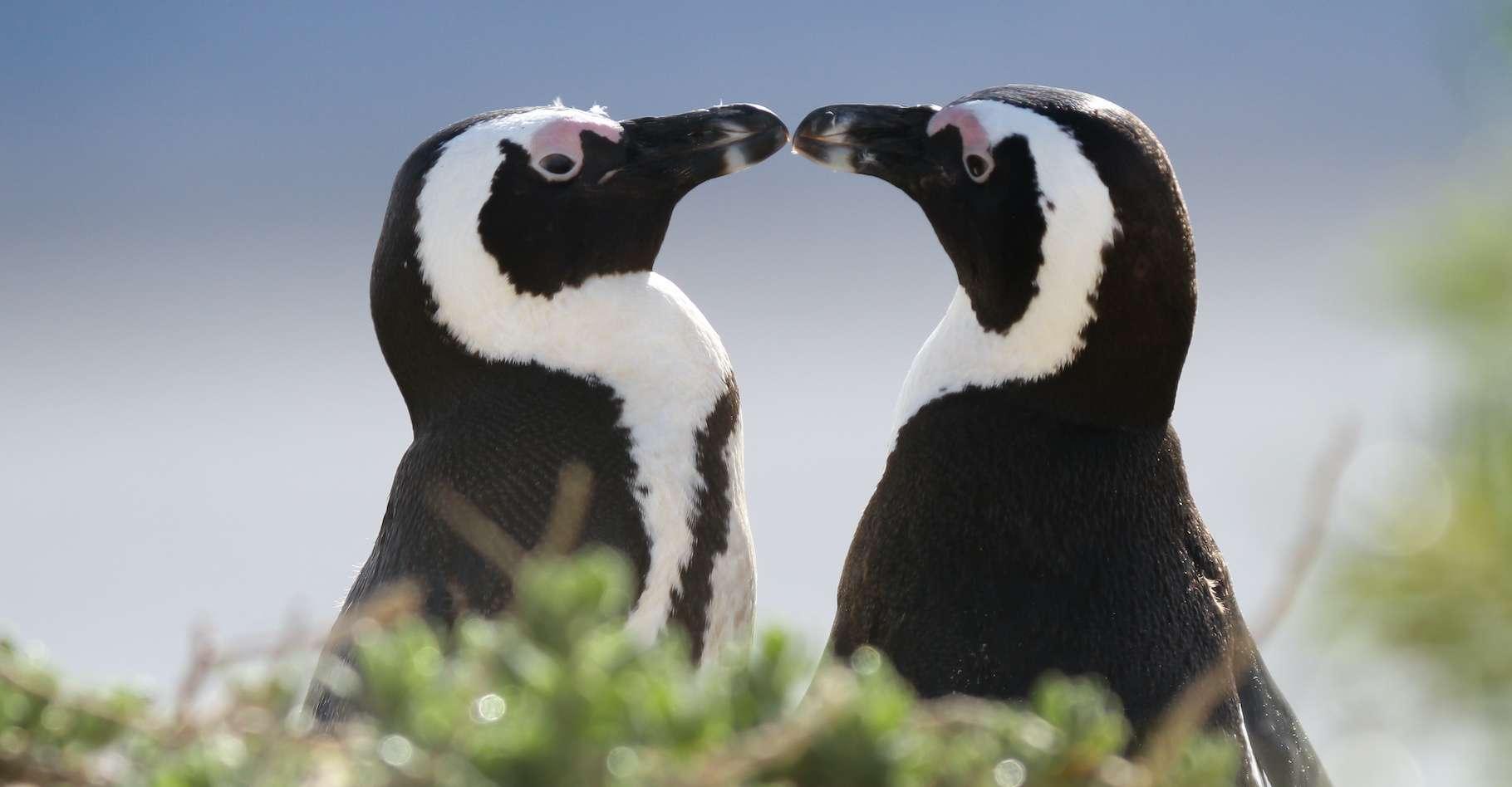 L'Union internationale pour la protection de la nature (UIPN) a classé le manchot du Cap en danger d'extinction en 2010. © Loïc Francois, Adobe Stock