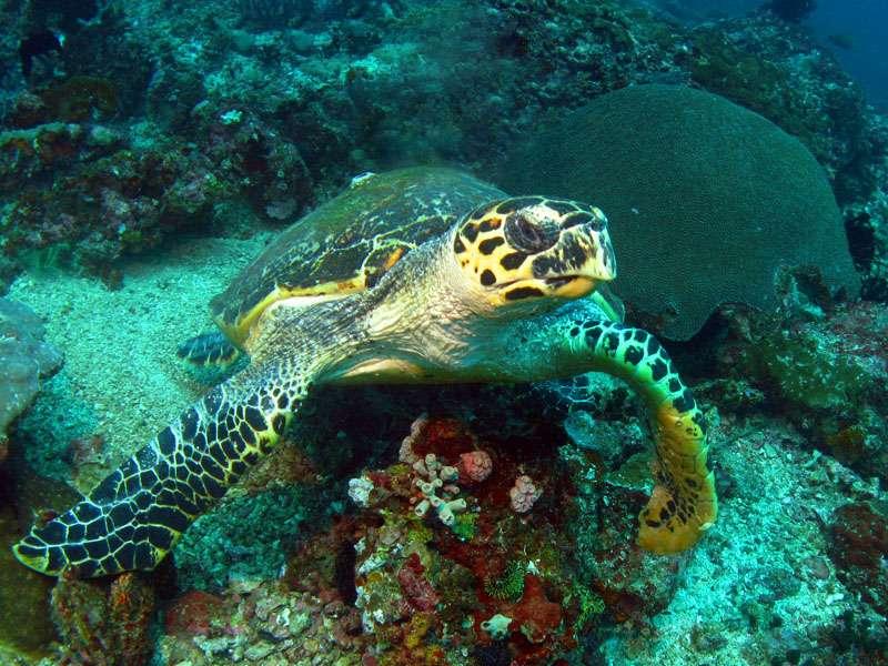 La tortue imbriquée est en danger critique d'extinction. On la retrouve fréquemment sur les étals de nombreux pays asiatiques et sa carapace dans les boutiques de souvenir. © Raymond TM, CC BY-NC-ND 2.0