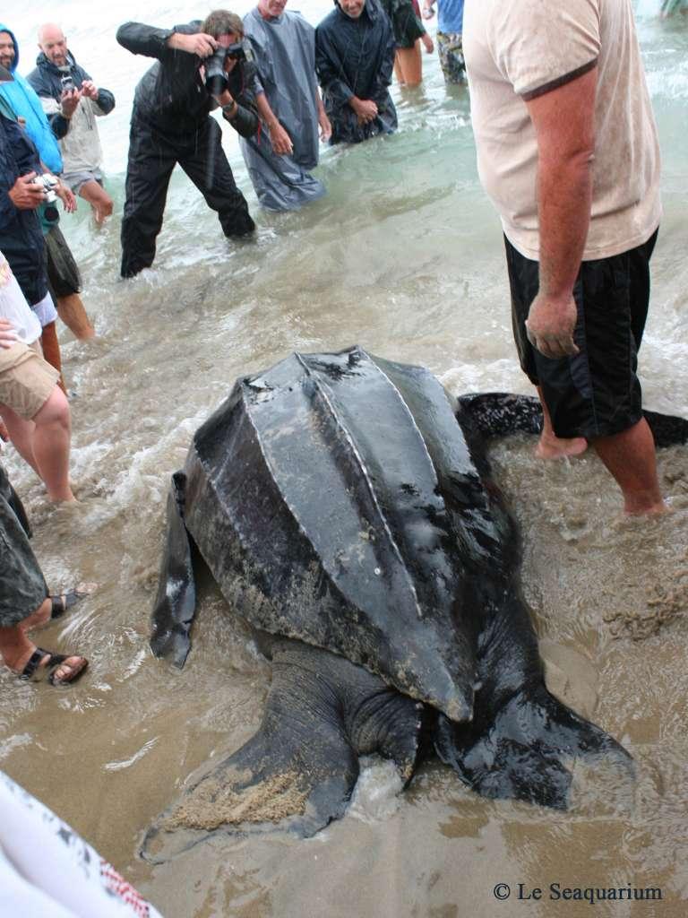 Les dimensions et le poids de la tortue Luth qui nageait au large de la Camargue sont impressionnants, mais bien loin des valeurs maximales observées chez d'autres spécimens. Les tortues Dermochelys coriacea peuvent en effet atteindre un poids de 500 kg, voire parfois 800 kg pour les plus grosses. Elles se reproduisent dans la mer des Caraïbes ou dans le golfe du Mexique. © Le Seaquarium