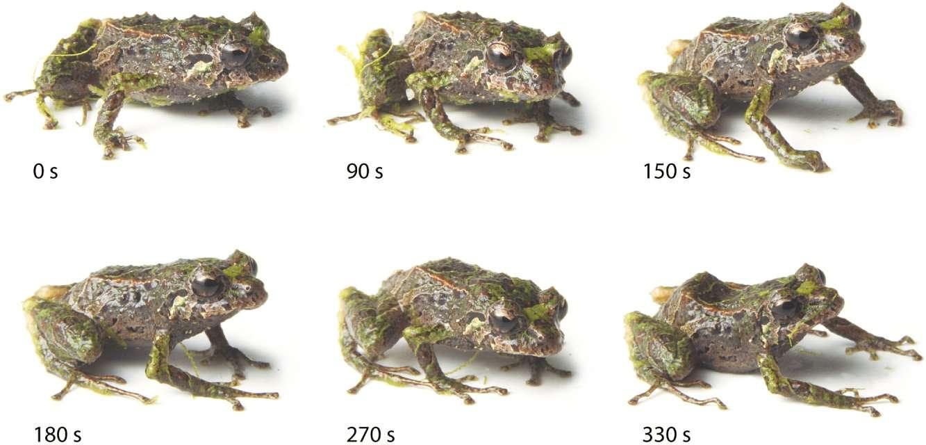 Top chrono : en 330 secondes, cette petite grenouille fait disparaître toutes les protubérances qui hérissaient sa peau (en haut à gauche), laquelle devient parfaitement lisse (en bas à droite). Comment fait-elle ? Nul ne le sait. Combien de ses cousines anoures sont capables de changer ainsi de tenue de camouflage ? Nul ne le sait... © Juan M. Guayasamin et al., Zoological Journal of the Linnean Society