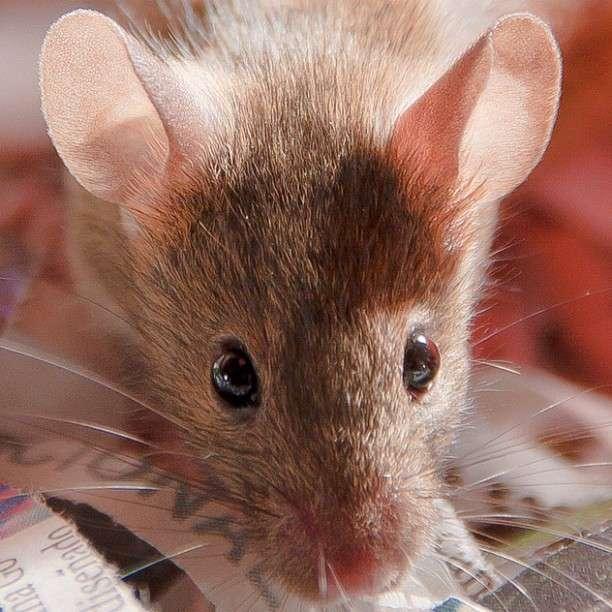 Les souris jeunes disposent d'une arme dans leurs larmes pour faire fuir les mâles qui s'intéresseraient de trop près à elles : la phéromone ESP22. © CdePaz, Flickr, cc by nc sa 2.0