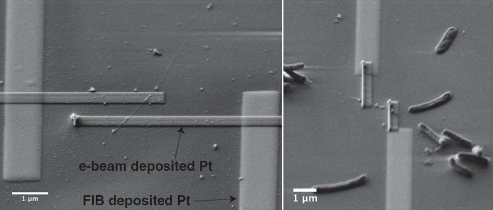 Les bactéries vivent sur une surface parcourue de nanoélectrodes en platine et font croître de longs filaments, qui conduisent effectivement l'électricité. © Mohamed El-Naggar et al. / Pnas