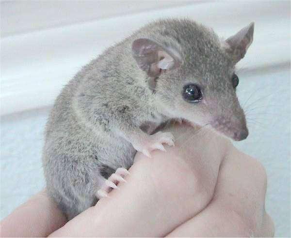 L'ancêtre des marsupiaux (comme ce didelphidé) était-il social ? © Dawson, Wikimedia, CC by-sa 2.5