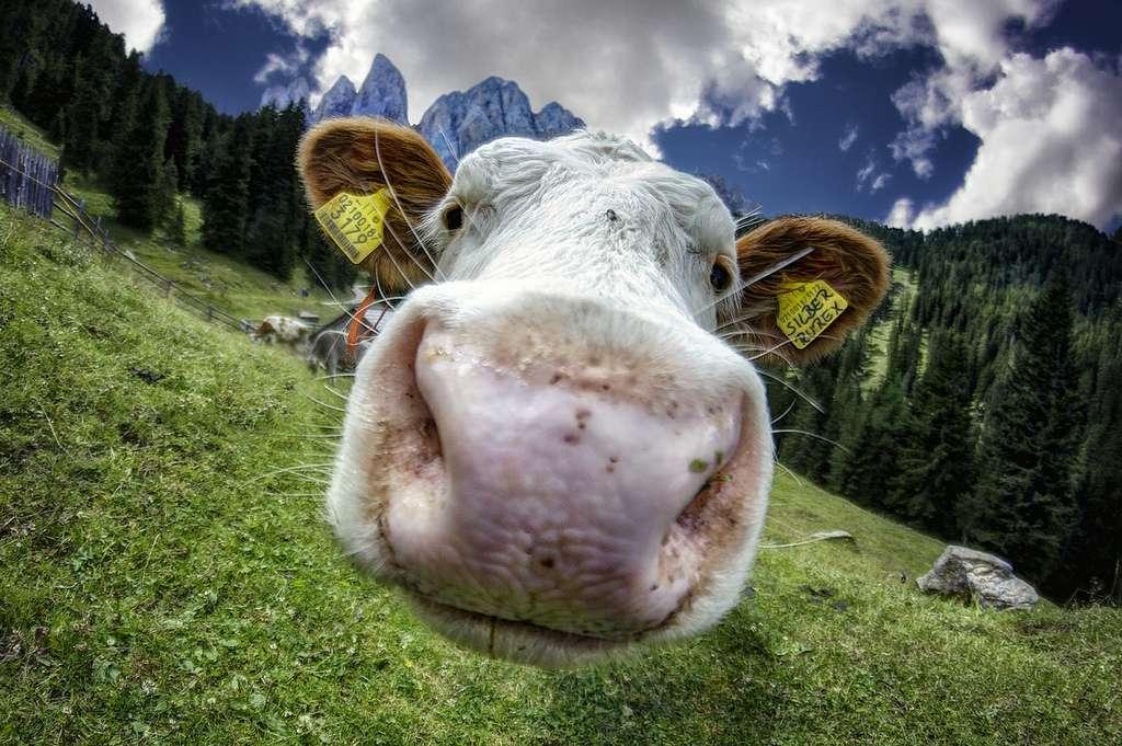 Mangerons-nous du veau cloné ? Coincoyote / Flickr - Licence Creative Common (by-nc-sa 2.0)