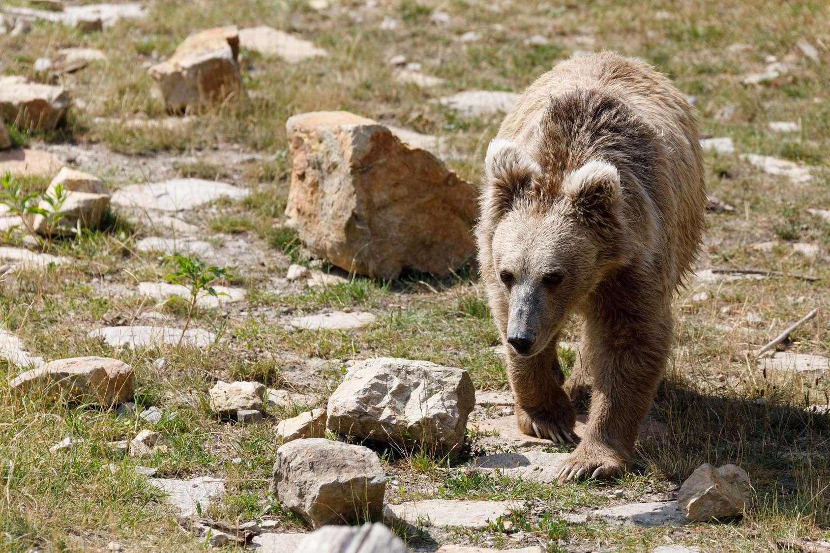 Un ourson a été sauvé de justesse par une famille alors qu'il tentait de nager avec la tête prise dans un bocal en plastique © artush, Fotolia