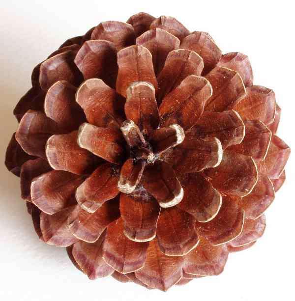 La pomme de pin, bel exemple de nombre d'or dans la nature. © jeux-et-mathematiques-davalan.org