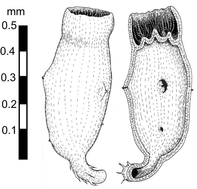 Représentation graphique de Diskagma buttonii, peut-être le plus vieil eucaryote au monde. © Gregory Retallack et al., Precambrian Research