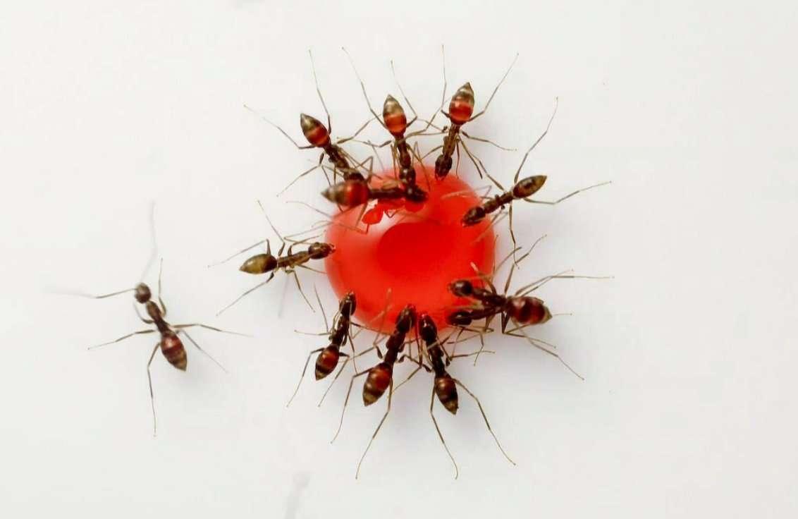 Le fait est bien connu, les fourmis aiment le sucre. La preuve en vidéo. © Raul Gonzalez