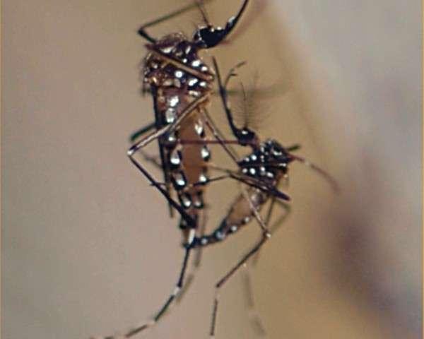 Accouplement entre deux moustiques de l'espèce Aedes aegypti, un des vecteurs de la dengue. La femelle (ici à gauche) est la seule qui pique mais c'est le mâle qu'une entreprise veut en quelque sorte piéger en lâchant dans la nature des individus portant un gène délétère. © Oxitec