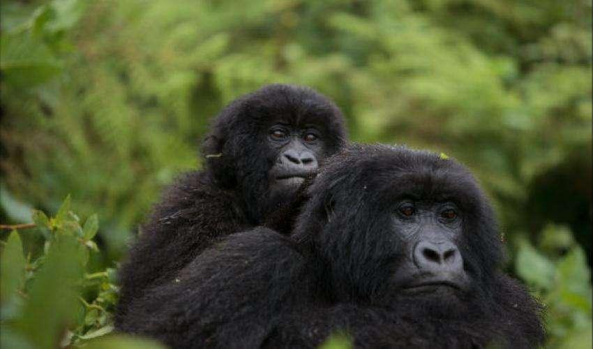 Autrefois considéré comme « en danger critique d'extinction », le gorille des montagnes est maintenant classé « en danger » sur la Liste rouge de l'UICN car sa population a augmenté. Cet animal vit au Congo, au Rwanda et en Ouganda. © Ludovic Hirlimann, CC By-SA 2.0
