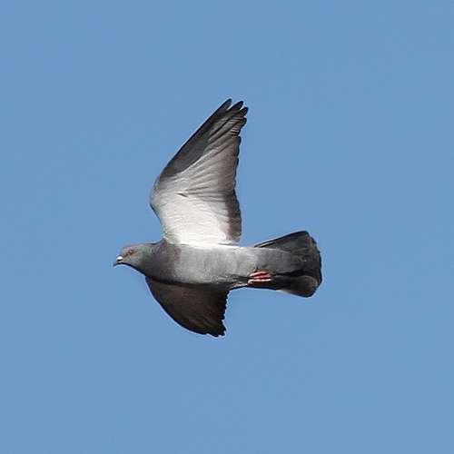De jour comme de nuit, les pigeons connaissent en temps réel leur position sur la Planète grâce à 53 neurones du tronc cérébral et probablement à des cellules magnétosensibles situées dans les oreilles. © OpenThread, Flickr, CC by-nc-nd 2.0