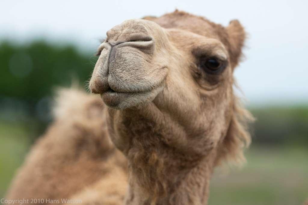 Les dromadaires, animaux de compagnie au Moyen-Orient, pourraient transporter en eux le coronavirus MERS-CoV. L'un d'eux aurait même pu contaminer son propriétaire. À moins que ce ne soit l'inverse... © Watsonsinelgin, Flickr, cc by nc sa 2.0