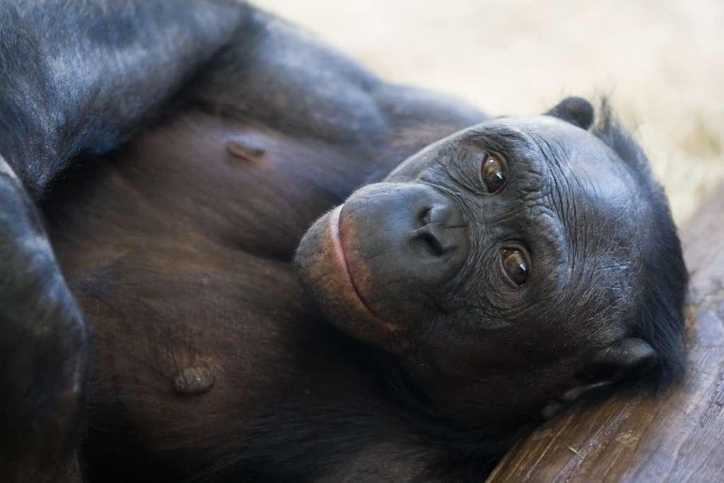 Les bonobos Pan paniscus, aussi appelés chimpanzés nains, ont une allure moins trapue que les chimpanzés et leurs lèvres sont rouges. Sur la liste rouge de l'UICN, l'espèce figure dans la catégorie en danger. © Jeroen Kransen, Flickr, CC by-sa 2.0