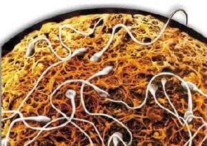 Des spermatozoïdes tentent de pénétrer dans l'ovule en traversant la zone pellucide, une épaisse couche de protéines. © DR