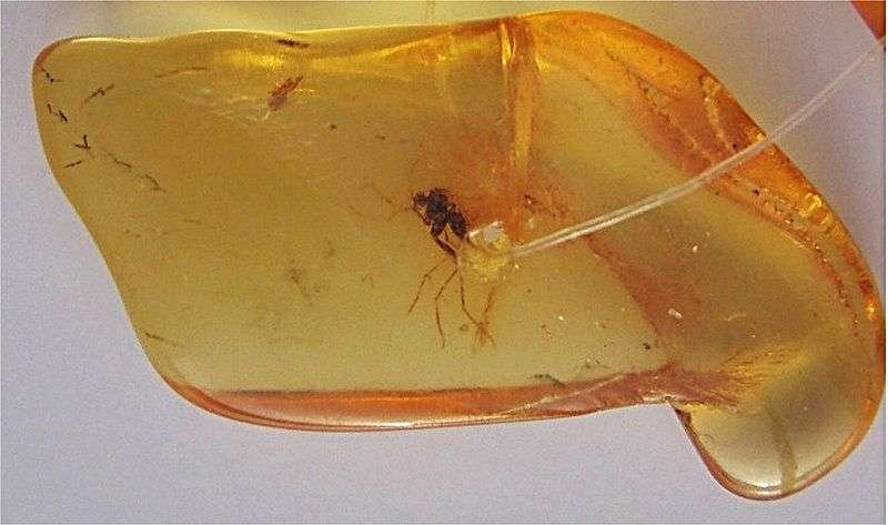 Des insectes peuvent être retrouvés pris au piège dans l'ambre jaune depuis des millions d'années. Si ce moustique a été emprisonné voici plus de 1,5 million d'années, et même en ayant été maintenu à -5 °C, l'ADN fossile qu'il peut éventuellement contenir est illisible. © Mila Zinkova, Wikimedia Commons, cc by sa 3.0