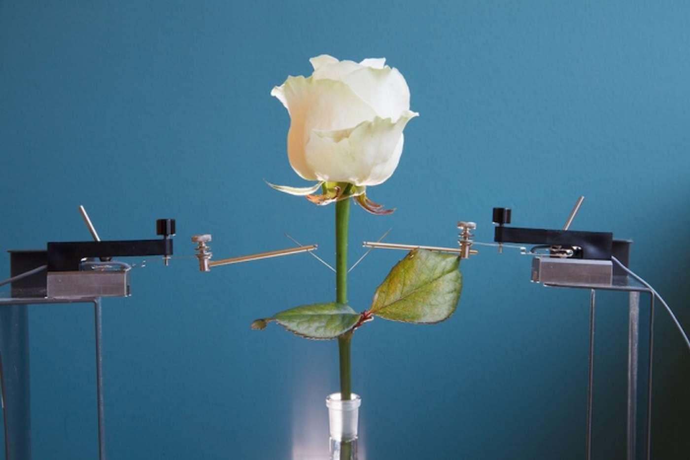 Selon les scientifiques de l'université Linköping (Suède), la création de plantes bioniques, comme cette rose, ouvre la voie à des nombreuses applications dans les domaines de l'environnement et de l'énergie. © Eliot Gomez, Linköping University