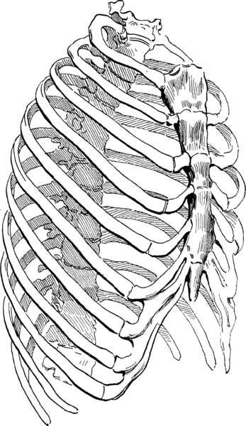 Le sternum est situé dans le thorax et sert de point d'attache aux côtes et aux muscles intercostaux. © DR