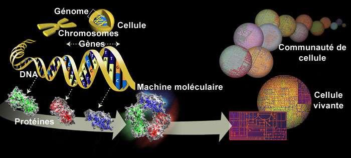 Grâce aux outils génomiques actuels, les auteurs ont pu comparer de manière détaillée les génomes de différentes tumeurs de la corticosurrénale. © Human Genome Project, Wikimedia Commons, DP