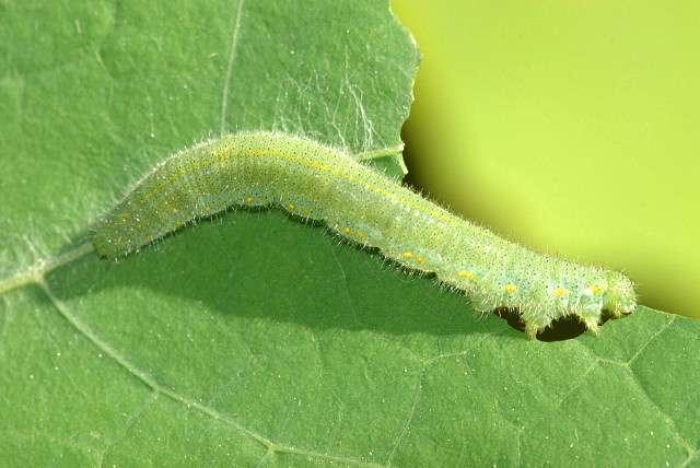 Pour démontrer qu'Arabidopsis thaliana (une plante souvent utilisée en laboratoire) réagissait à l'attaque de la chenille Pieris rapae, des chercheurs ont reproduit durant des sessions de deux heures les minuscules vibrations des feuilles, de 0,00254 mm d'amplitude, produites sous l'effet de la mastication de l'animal. © James K. Lindsey, Wikimedia Commons, cc by sa 2.5