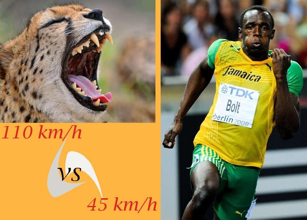 Le guépard peut se moquer d'Usain Bolt. Le sprinteur jamaïcain considéré comme l'Homme le plus rapide du monde approche les 45 km/h en vitesse de pointe, qu'il ne tient d'ailleurs pas sur 100 m. Il parcourt en moyenne la ligne droite à 37,6 km/h. Le félin, lui, court 2,5 fois plus vite... © Futura-Sciences