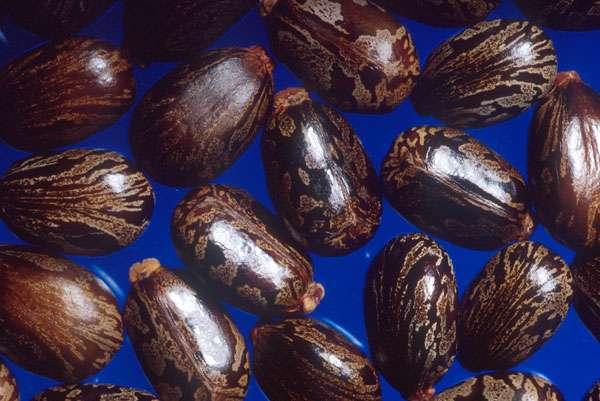 Les graines de ricin contiennent la ricine, qui est une toxine et un poison mortel. © Slinger~commonswiki , Wikipedia, DP