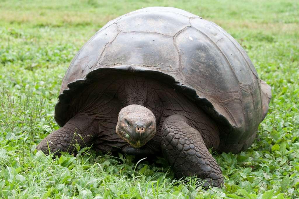 Jadis, les tortues géantes des Galápagos servaient de garde-manger ambulants aux marins au long cours. © Flickr, Joanne Goldby, cc by sa 2.0