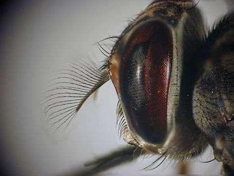 Cette mouche Tsé-tsé, ou glossine, dotée d'une trompe piqueuse, transmet à l'homme ou à l'animal, en Afrique sub-saharienne, des agents pathogènes appelés trypanosomes. Elle est le vecteur de la maladie du sommeil. © Dukhan, Michel - IRD