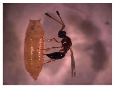 Leptopilina heterotoma, une guêpe parasite, en train de pondre dans une larve de drosophile. © Roberto Ferrarese, CCNY, département de biologie