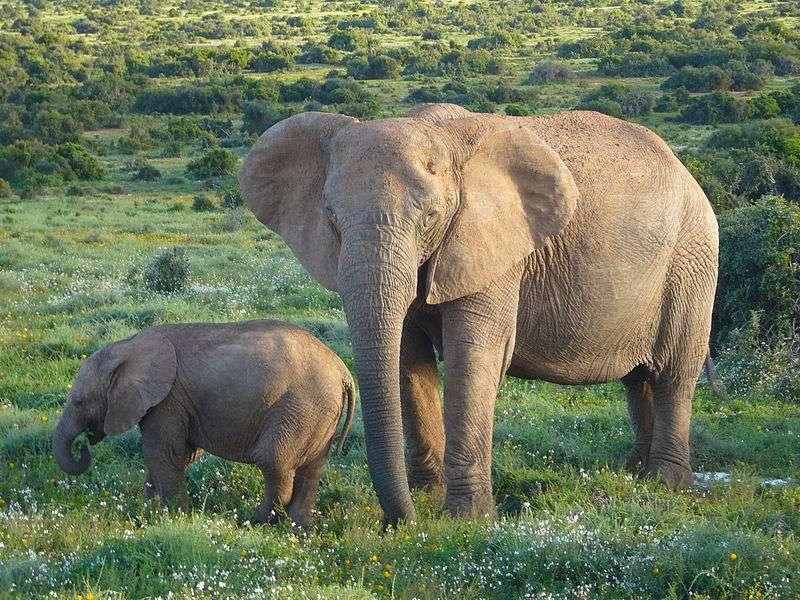Les infrasons émis par les éléphants adultes se transmettent sur des kilomètres. © Gorgo, Wikimedia Commons, DP