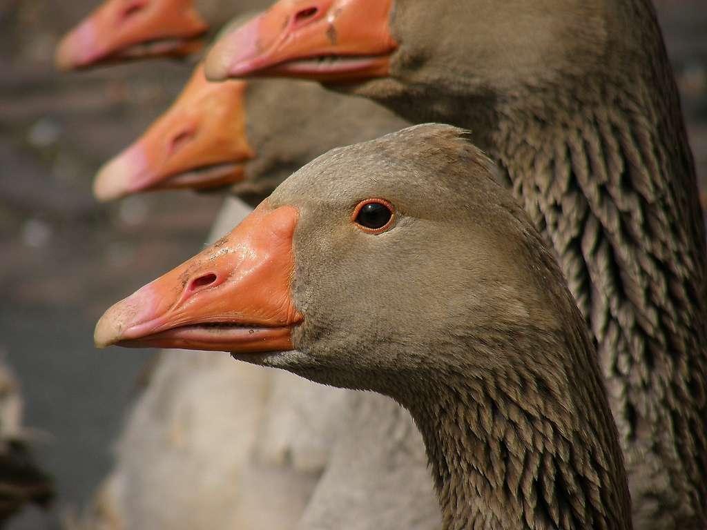 Le gavage des oies et des canards est la technique employée pour la production de foie gras, dans le Gers notamment. © DR