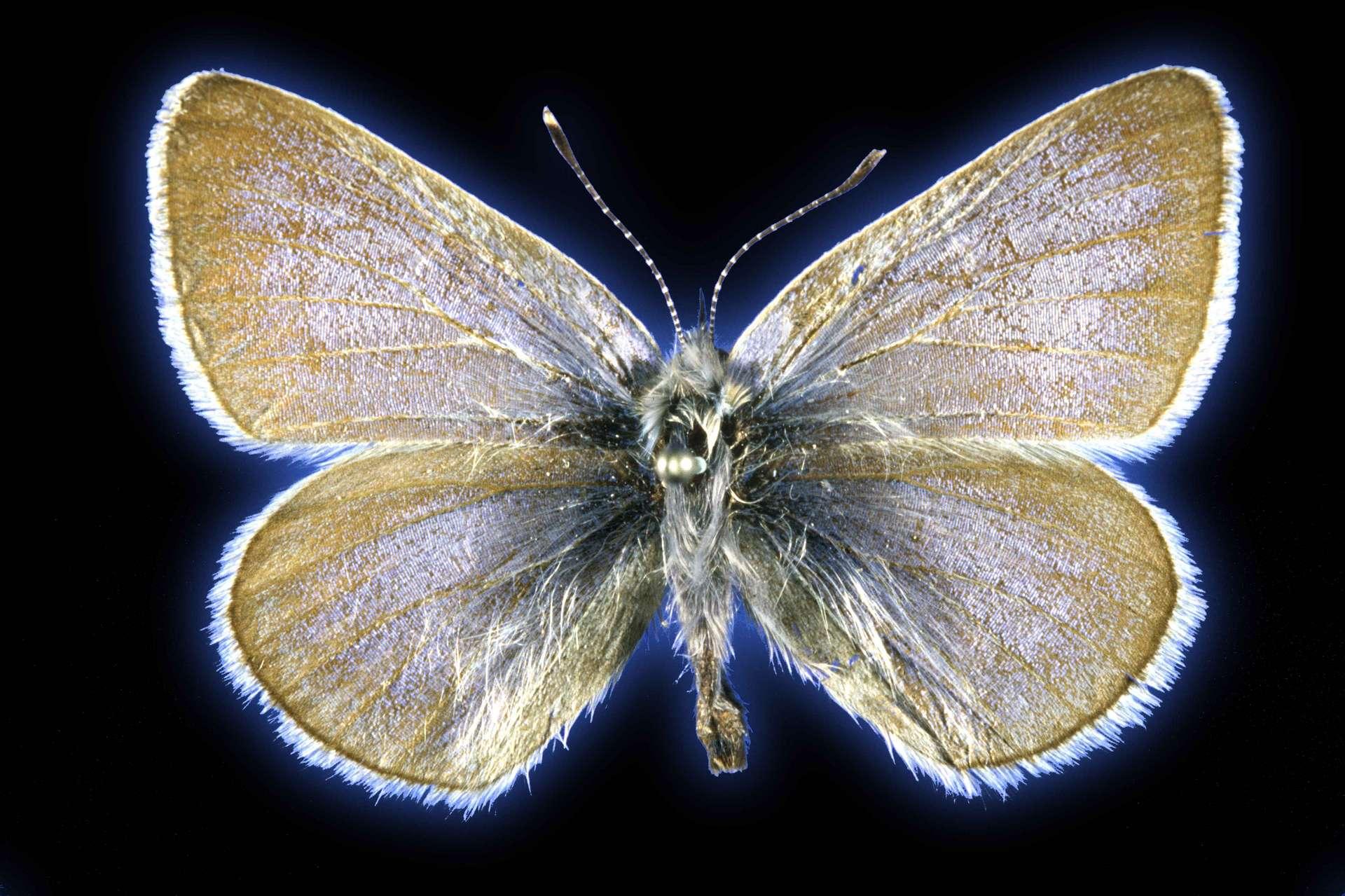 Le papillon bleu Xerces a disparu depuis près d'un siècle en Amérique du Nord. © Field Museum