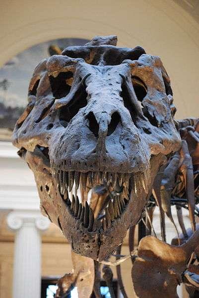 Les Tyrannosaurus rex ont vécu voici 65 à 70 millions d'années dans ce qui est actuellement l'Amérique du Nord. Ils pouvaient atteindre 12 mètres de long pour 4 de haut et peser jusqu'à 6,7 tonnes. © ScottRobertAnselmo, Wikimedia Commons, cc by sa 3.0