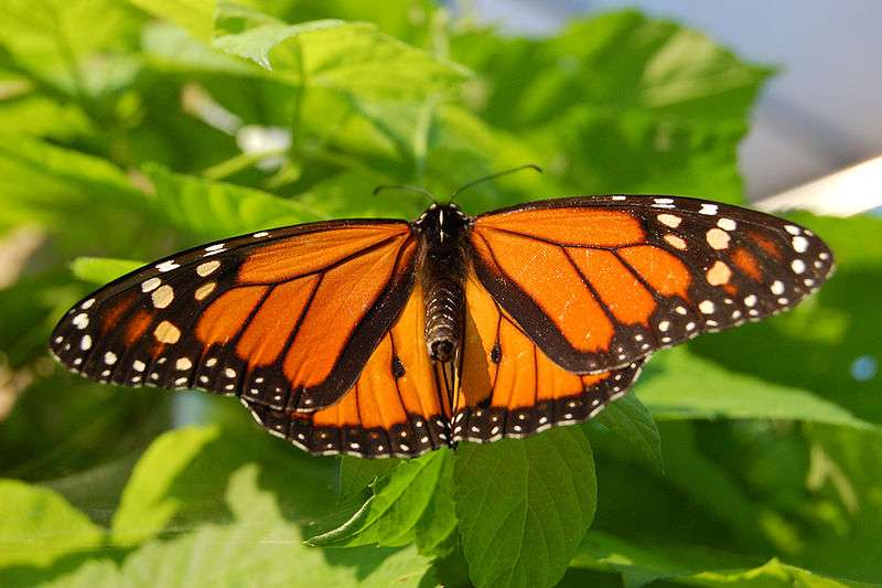 Le papillon monarque effectue à l'automne de grandes migrations vers le Mexique. Il est aussi capable, pour pondre ses oeufs, de choisir la plante la plus à même de protéger sa progéniture. © Derek Ramsey / Wikimedia Commons