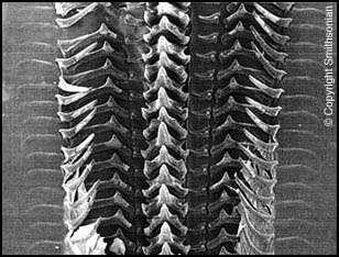 Les dents chitineuses recouvrant cette radula de calmar géant, genre Architeuthis, sont particulièrement bien mises en évidence sur cette photographie prise au microscope électronique à balayage. © Smithsonian